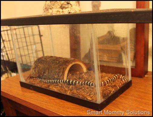 king snake 4web